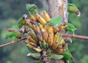 Brown-hooded-Parrots-Pakara