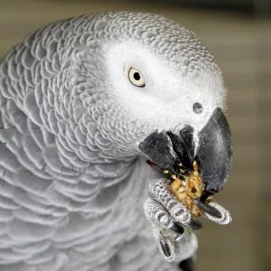 voerverrijking-papegaai-pakara