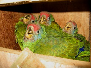 Amazona brasiliensis wood nestbox with 4 chicks